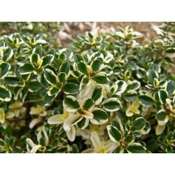 "Large thyme ""Foxley"""