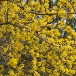 Sedula geltonžiedė