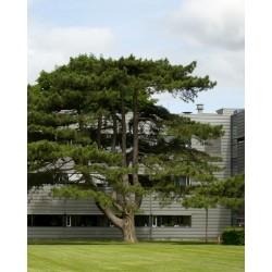 Austrian Pine / Black Pine