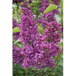 "Common lilac ""Congo"""