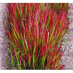 "Cogon grass ""Red Baron"""