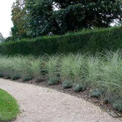 """Zebra Grass """"Morning Light"""""""