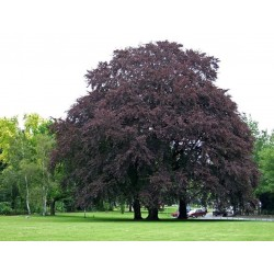 Common beech (European...