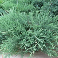 "Creeping Juniper ""Montana"""