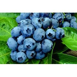 Northern highbush blueberry...