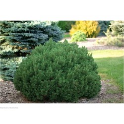 "Dwarf mountain pine ""Mops"""
