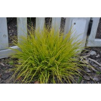 African Feather Grass