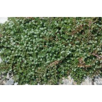 Thyme-leaved nailwort