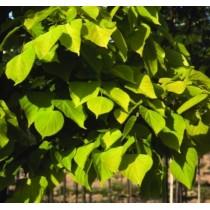 "Common lime ""Wratislaviensis"""