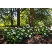 Smooth hydrangea (wild...