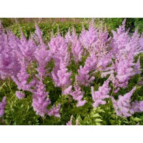 "Astilbe ""Hyacinth"""