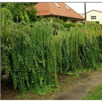 Weeping Japanese willow...