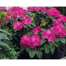 """Rhododendron """"Germanica"""""""