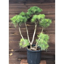 Mountain pine topiary -...