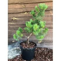 Pinus mugo ,,Pumilio''...