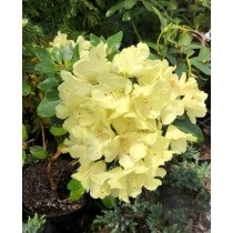 "Rhododendron ""Goldinetta"""