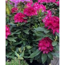 "Rhododendron ""Nova Zembla"""