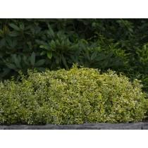 Evergreen bittersweet...