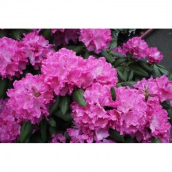 Rhododendron catawbiense...