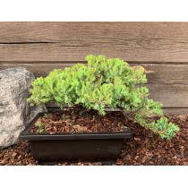 "Dwarf Juniper ""Nana"" bonsai"