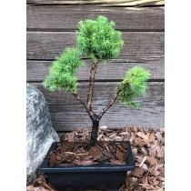 copy of Alberta spruce...