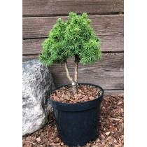 "Alberta spruce ""Alberta..."