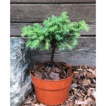 "Spruce ""Little Gem"" bonsai"