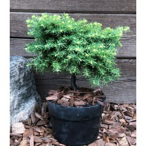 "Spruce ""Little Gem"" bonsai"