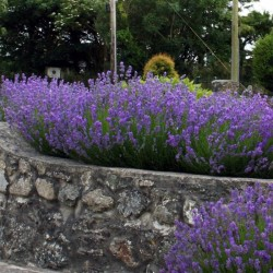 "English lavender ""Munstead"""