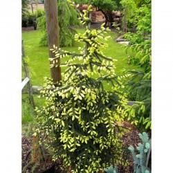 Oriental spruce (Caucasian...