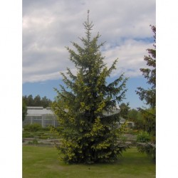 "Norway spruce ""Aurea"""