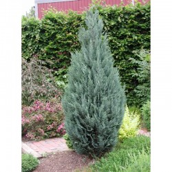 Lawson cypress ,,Columnaris""