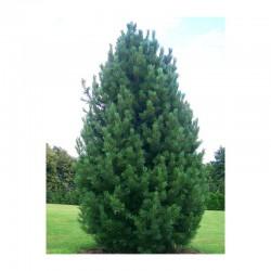 Arolla Pine