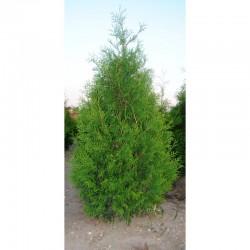 """White Cedar """"Brabant"""""""
