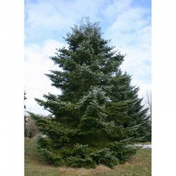 Veitch's fir