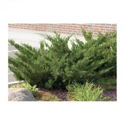 """Common juniper """"Vase"""""""