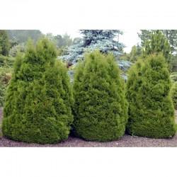 "White Cedar ""Dumosa"""