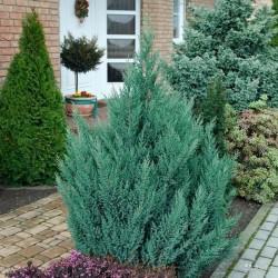 """Chinese juniper """"Stricta"""""""