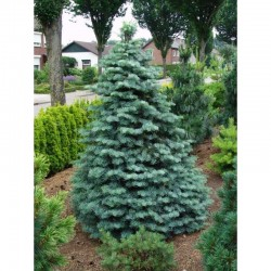 White Fir, Concolor Fir...