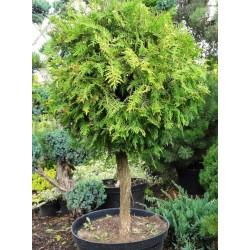 White Cedar topiary