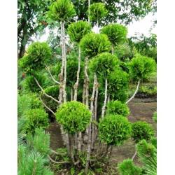 White Cedar topiary Pom Pom