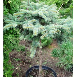 Colorado Blue Spruce...