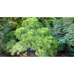 Mountain pine niwaki