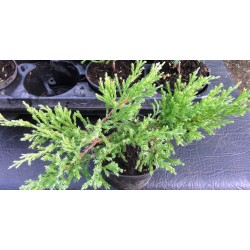 "Creeping Juniper ""Andora..."