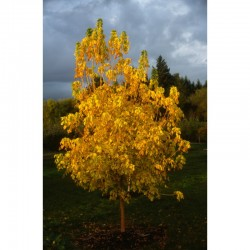 "Norway maple ""Princeton Gold"""