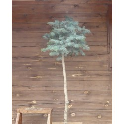Colorado Blue Spruce topiary