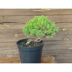 "Alberta spruce ""Alberta Globe"""