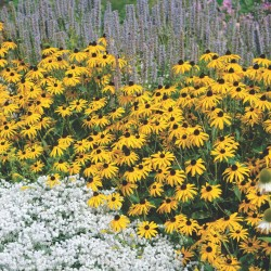 "Black-eyed Susans ""Goldsturm"""