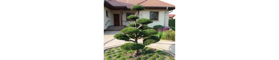 Niwaki, topiary, bonsai - formuotos kalninės pušys, eglės Vilniuje.